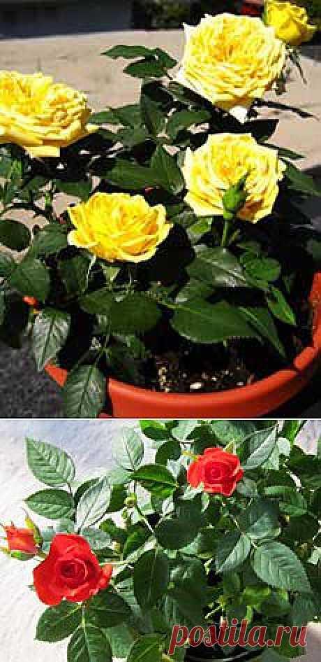 Как правильно ухаживать за комнатной розой?