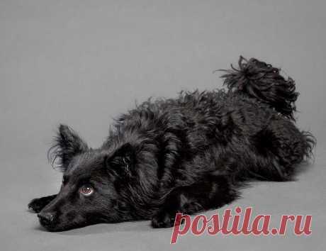 «Хорватская овчарка: описание породы собак с фото и видео» — карточка пользователя Валентина в Яндекс.Коллекциях