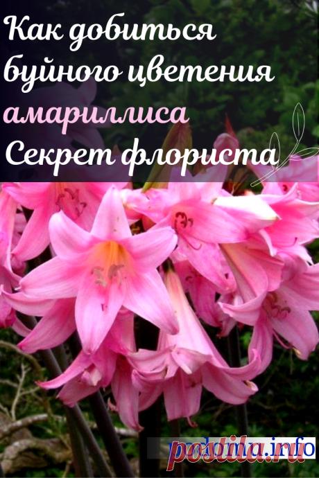 Уход за амариллисом в домашних условиях — что делать после цветения и когда убирать на покой. Желающим следует ознакомиться с условиями, которые необходимы цветку, и сделать все возможное, чтобы воссоздать их дома. #цветы #растения #амариллис#удобрение #цветение #комнатные #домашние #амариллисбукет