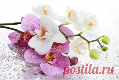 Не тратим деньги на орхидеи: размножаем самостоятельно