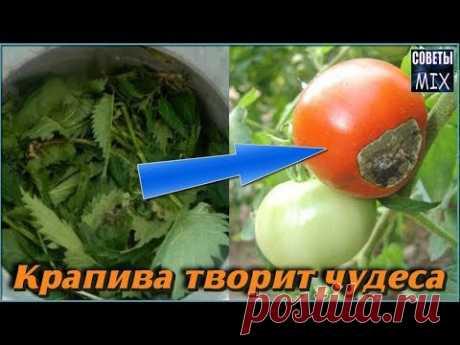 Как крапива творит чудеса на огороде. Эффективное удобрение и борьба с фитофторой на томатах - YouTube