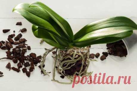 Правильная пересадка орхидеи фаленопсис в домашних условиях
