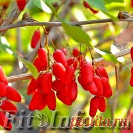 Барбарис обыкновенный: лечебные свойства ягод, корня и листьев