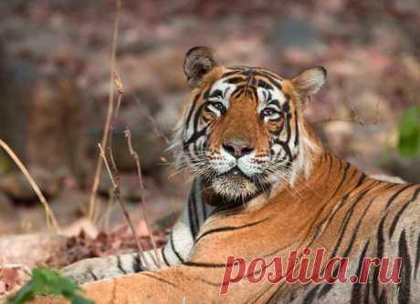 Когда маленькую тигрицу Золушку нашли в тайге, она погибала от истощения и холода. Но история ее жизни – это сказка со счастливым концом.