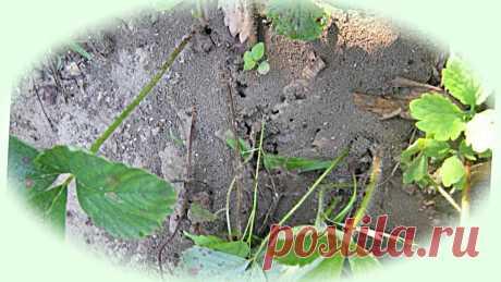 А муравьи-то уже проснулись. Накормим их содой, сами уйдут с огорода | Дом, в котором хорошо | Яндекс Дзен Один из действенных способов борьбы с муравьями на участке.