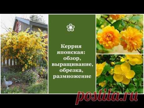 ❀ Идеальный кустарник для «ленивых» садоводов - Керрия японская: выращивание, обрезка, размножение