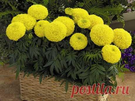 Как я выращиваю рассаду бархатцев, чтобы получить крепкие и пышно цветущие растения   Блоги о даче, рецептах, рыбалке