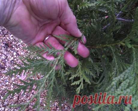 Размножение хвойных черенками зимой – самый легкий способ получения саженцев   Хвойные (Огород.ru)