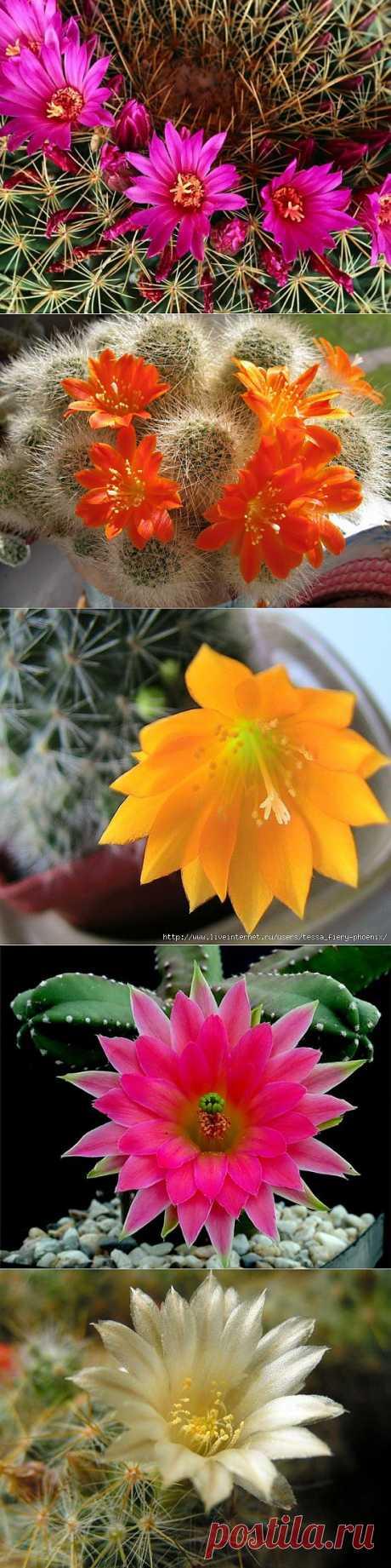 фото цветы кактуса