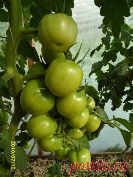 Как повысить урожай томатов путем регулирования развития