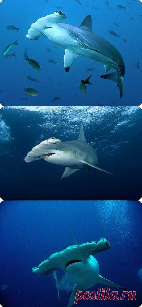 Рыба-молот – самый свирепый хищник глубин | Fresher - Лучшее из Рунета за день