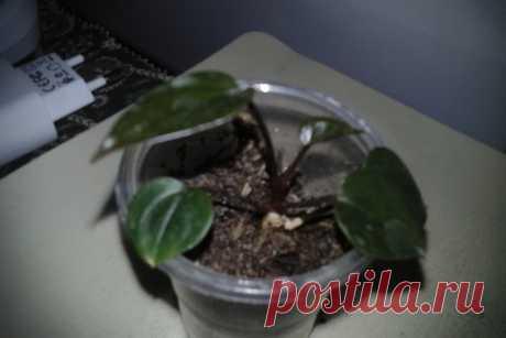 Продам детку антуриума Чёрный принц. Фото 2 образец цветения моего растения. С/З, пишите в личку.
