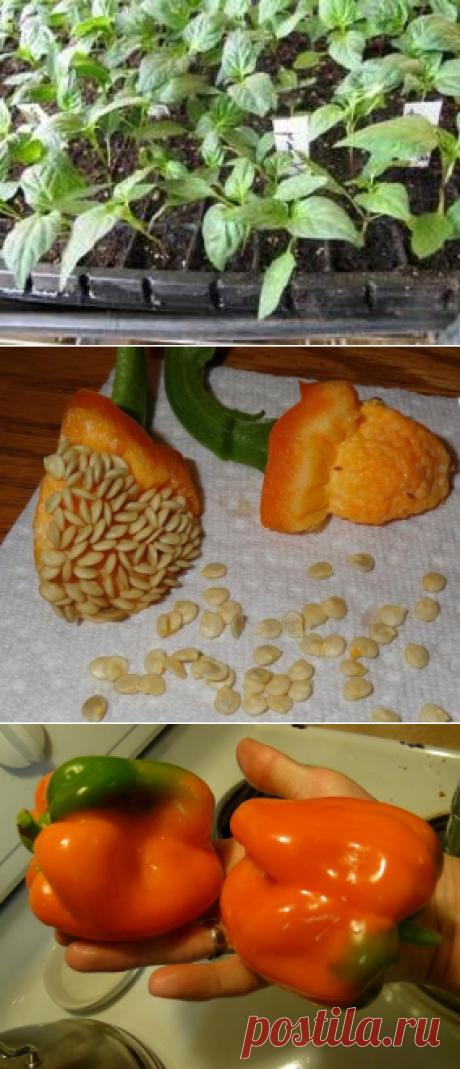 Сладкий перец - семена лучших сортов