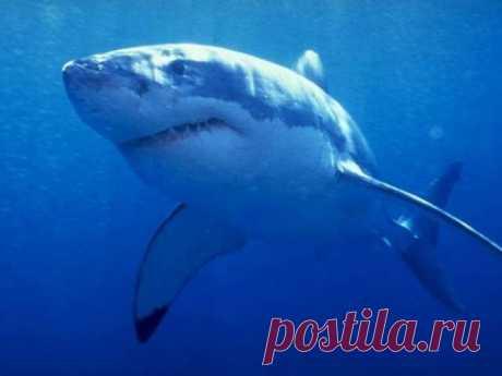 Крупнейшая хищная рыба — белая акула,— похоже, наводит на людей больше страха, чем какое-либо другое существо. Но сегодня этот вид находится под охраной почти везде у берегов Австралии, Бразилии, Намибии, Южной Африки, Соединенных Штатов и в Средиземном море. В других местах тоже думают о том, чтобы взять это животное под свою защиту.Но зачем защищать заведомого убийцу? Вопрос, как мы увидим, не так-то прост. Представления людей о белой акуле не всегда основаны на фактах.