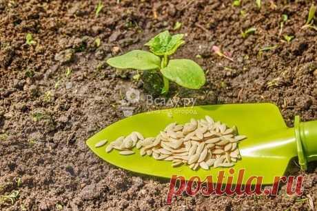 Особенности выращивания кабачков - совет садовода