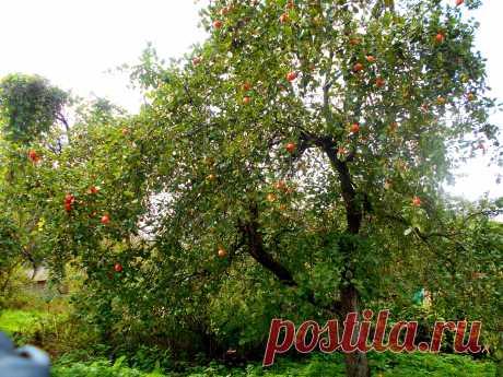 Яблоки созрели