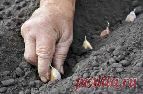 Сибирский способ посадки чеснока – урожай гарантирован - медиаплатформа МирТесен