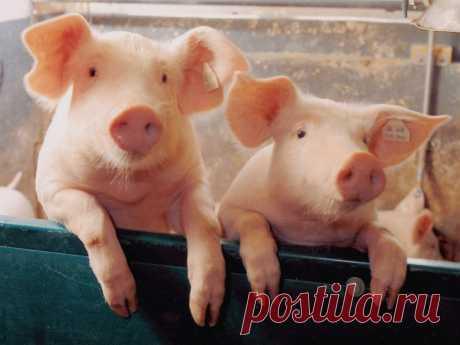 10 свинских фактов, которых вы не знали