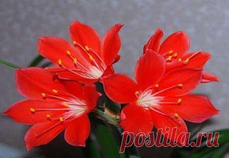 Обзор популярных и малоизвестных луковичных комнатных цветов