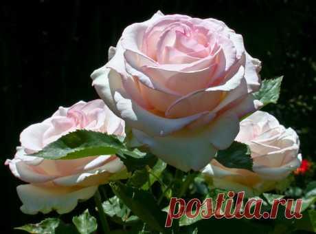 Аромат белых роз ...