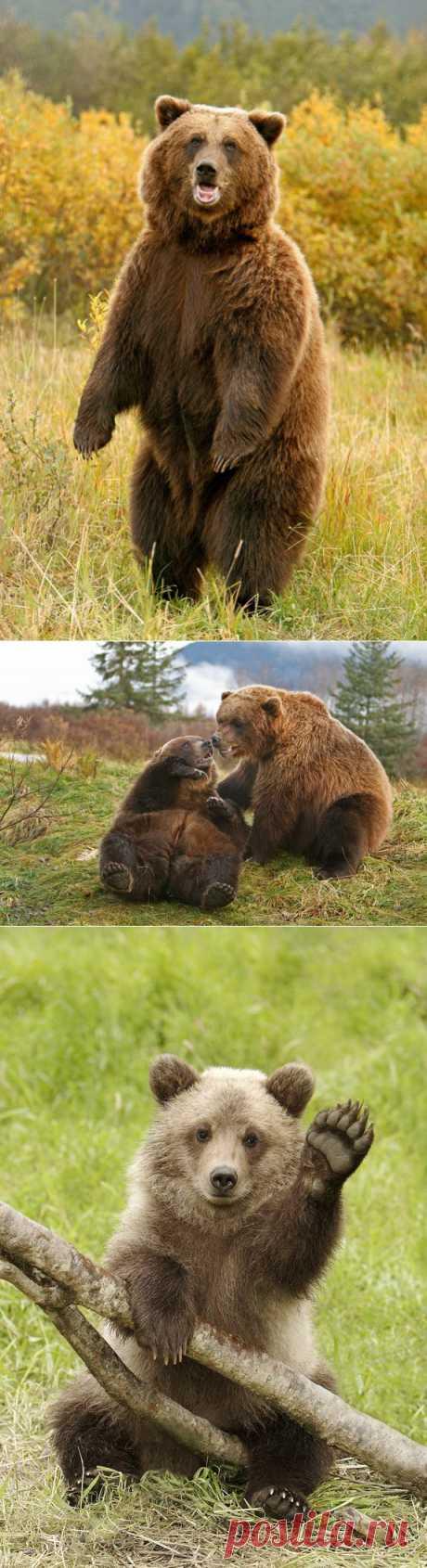 Медведи Аляски.