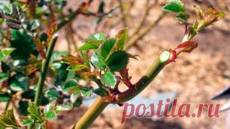 Подготовка роз к зиме и базальные побеги