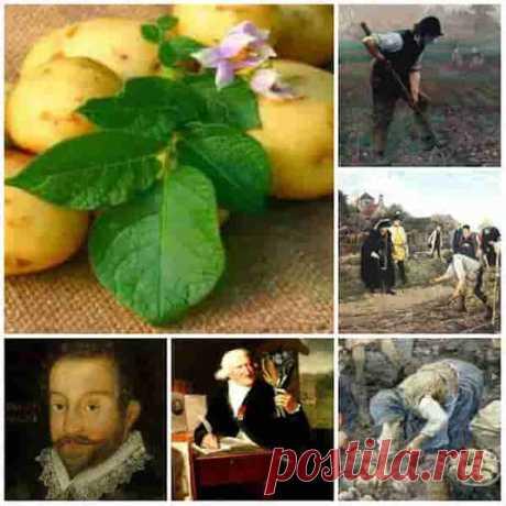 Картофель. История появления и признания  Картофель долго завоевывал популярность История его появления и признания в Европе.