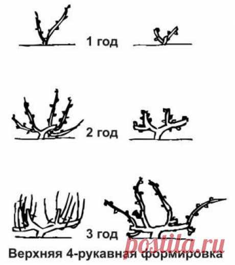 Весенняя обрезка винограда Весенняя обрезка винограда играет важную роль в формировании куста, правильном распределении полезных веществ в растении и его дальнейшей урожайности.