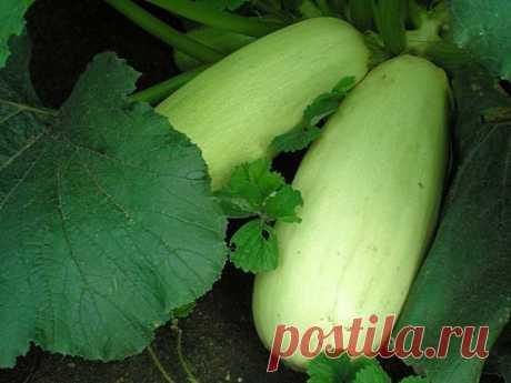 Семена кабачков: лучшие сорта для открытого грунта