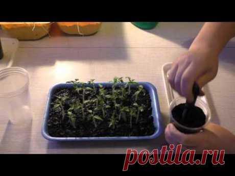 Как пикировать томаты в стаканчики