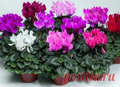 ХОТИТЕ РОСКОШНЫЙ ЦВЕТНИК В КВАРТИРЕ? ТОГДА ЗАПОМИНАЙТЕ СЕКРЕТИКИ    Секрет роскошного комнатного цветника прост: растения нужно хорошо подкармливать, иначе не дождаться ни пышной листвы, ни хорошего цветения. Жесткая «диета», когда растение длительное время испытыв…
