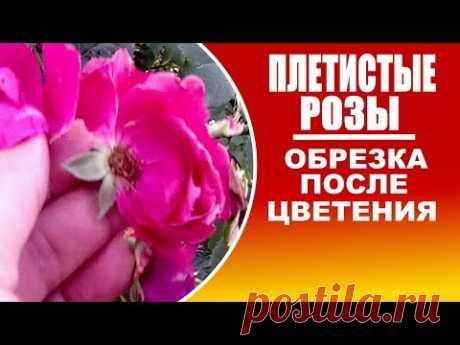 Обрезка плетистых роз после цветения . Наглядно.