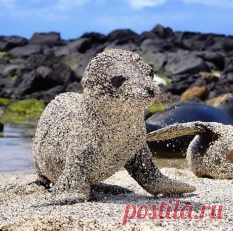 На Галапагосских островах есть уникальный вид морских котиков: они используют песок для защиты от солнца! Фото Michał Tyl