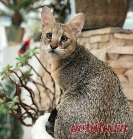 Кошка чаузи (хауси): фото, цена, описание породы, характер, здоровье, уход