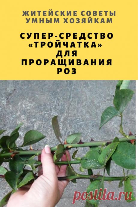 Супер-средство «Тройчатка» для проращивания роз | Житейские Советы
