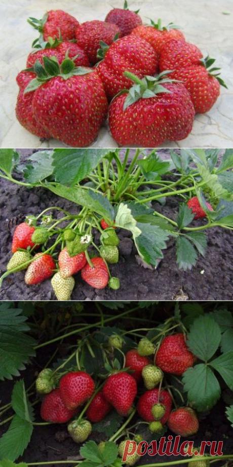 Клубника Королева Елизавета 2: описание сорта, посадка и уход за ягодой
