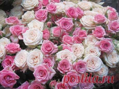 lady-ir-pa2011 — «Эти розы для Маришки Орловой!С Днём Рожденья!!!(для orlowa-m2009)» на Яндекс.Фотках