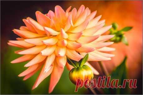 Обои на рабочий стол Цветы:Dahlia, Георгин, Цветок, Флора - скачать бесплатно.   Обои-на-стол.com