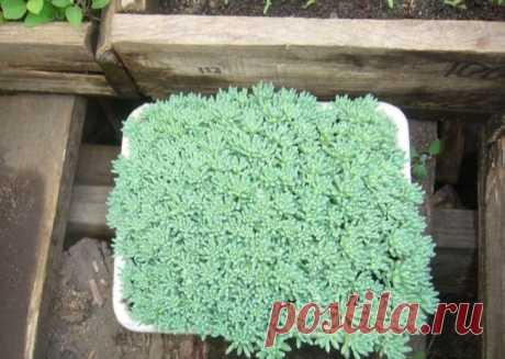 Выращивание очитка (70 фото): посадка, из семян, уход, описание, применение