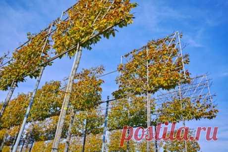 Как вырастить дерево на шпалере: инструкция, фото, подходящие сорта | Уход за садом (Огород.ru)