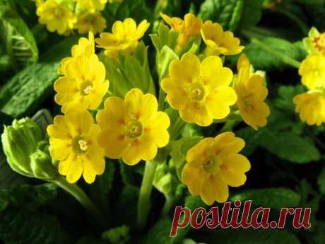 Примула — самый распространенный весенний цветок в наших садовых участках. Обычно его называют первоцветом, так как он зацветает одним из первых в конце апреля — начале мая.