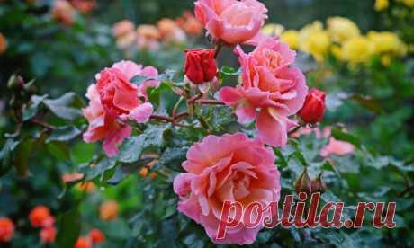 С приближением осени необходимо начать подготовку роз к зимовке. Есть несколько важных моментов, вспомнив о которых и применив знания на