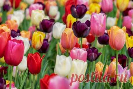 Роскошные тюльпаны на грядке весной – результат их правильной высадки осенью