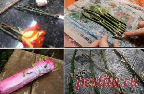 Буррито - метод беспроблемного размножения роз