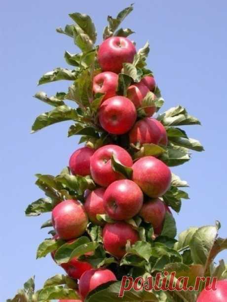 Колонновидная яблоня - Садоводка
