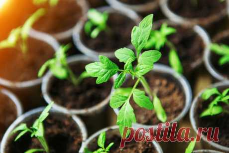 Как получить крепкую рассаду томатов | Огород на подоконнике | Яндекс Дзен