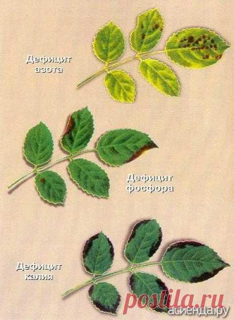 Проблемы роз. Нехватка микроэлементов.: Группа Цветы и флористика