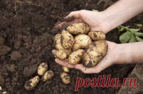 Что точно вырастет на грядках после картофеля