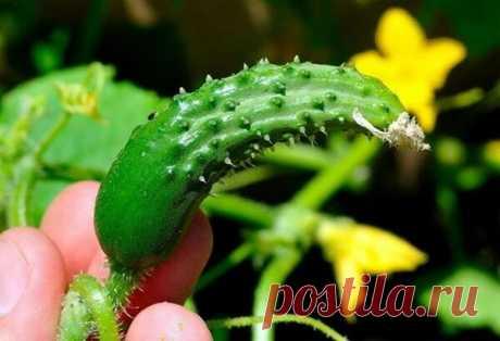 Чем поливать огурцы чтобы росли | 🌱ПРОРОСЛО.РУ | Яндекс Дзен