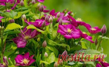 Чем подкормить клематис весной для пышного цветения в саду:смотреть раздел клематисы